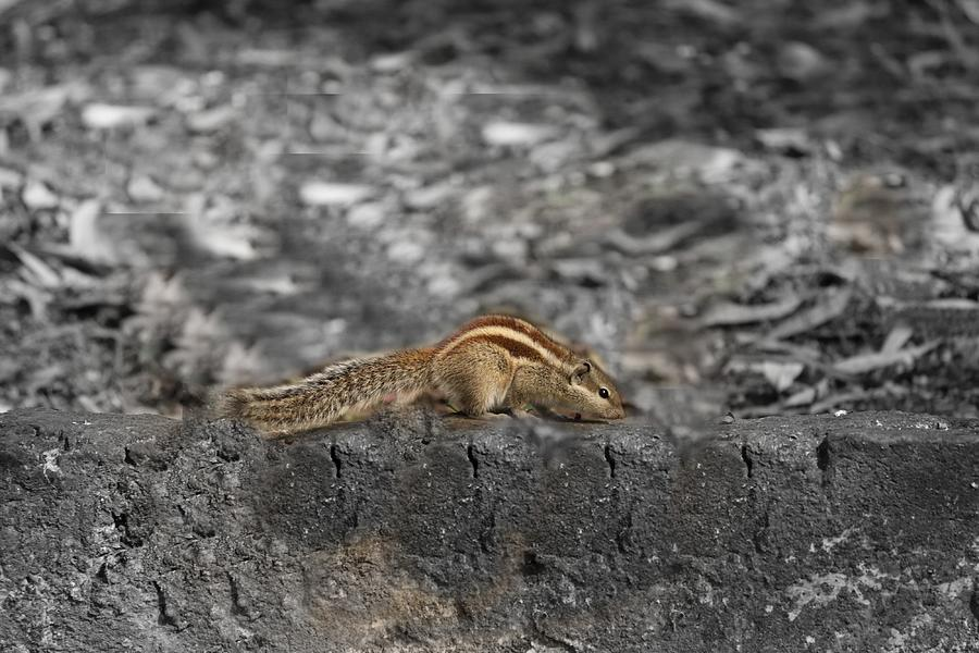 Squirrel On The Boundary Wall Photograph