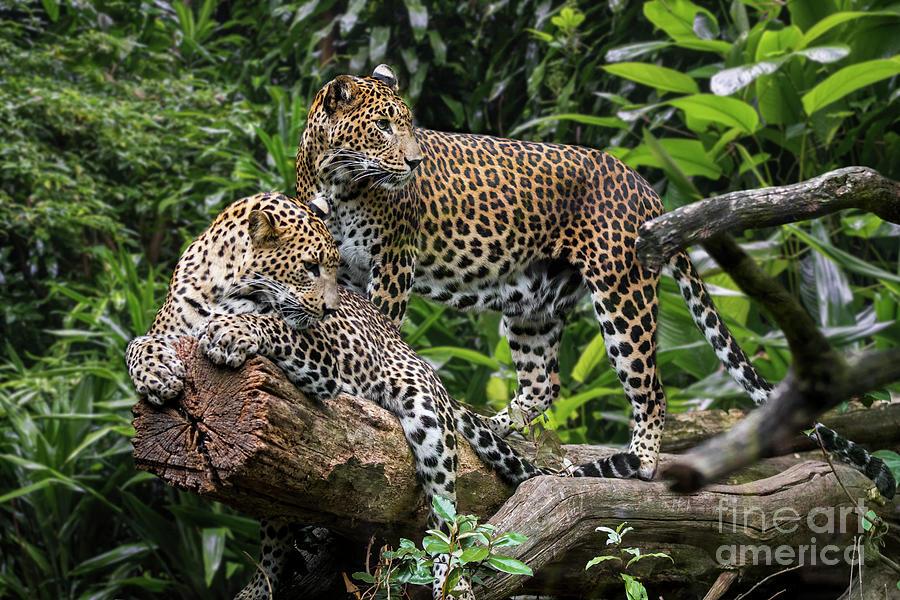 Sri Lankan Leopard Couple by Arterra Picture Library