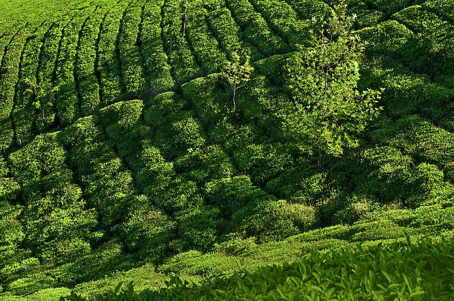 Ssk 9559 Amidst Tea Plantations. Color Photograph