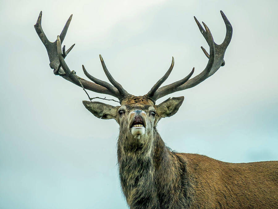 Stag Call by Nick Bywater