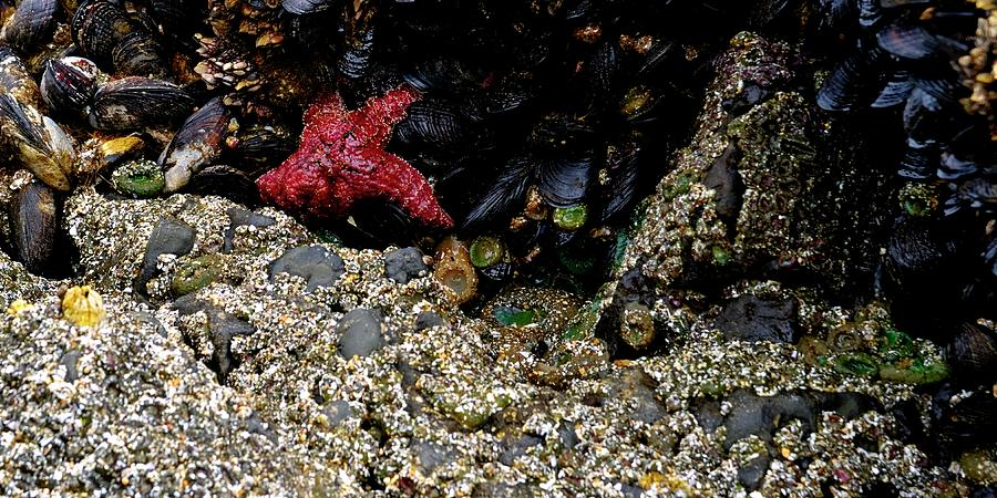 Starfish And Mussels Photograph