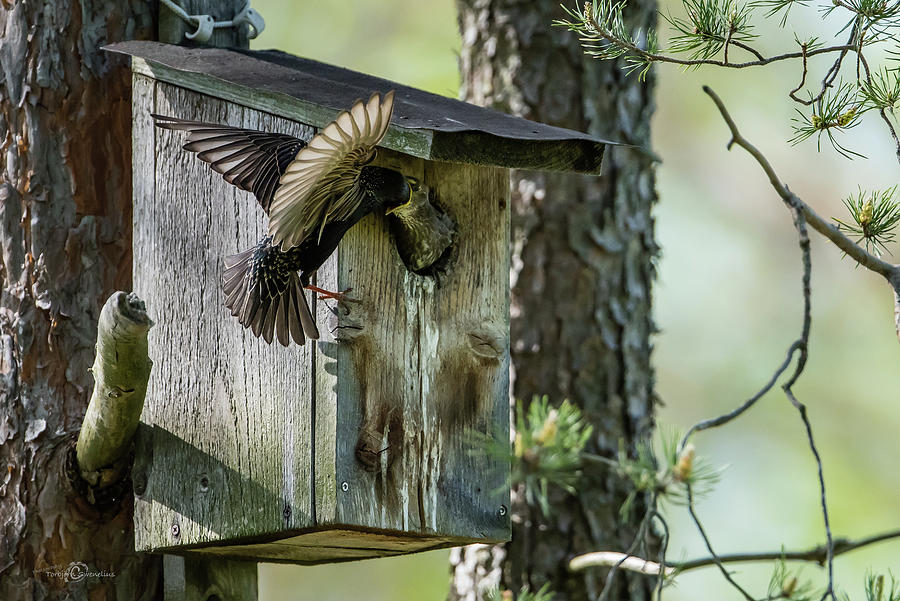 Starling Feed The Nestling Deep In The Throat Photograph