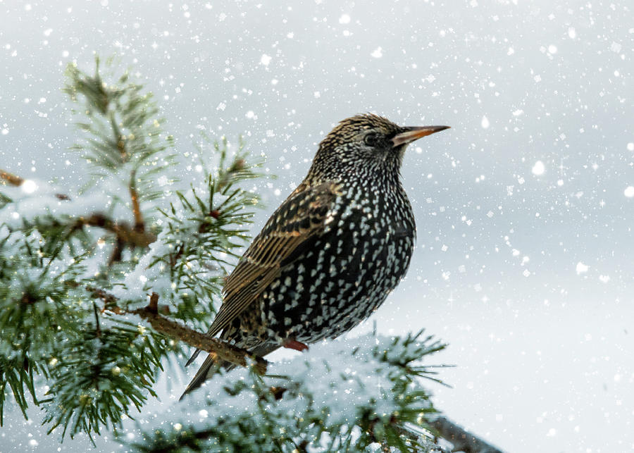 Starling In Snow Photograph