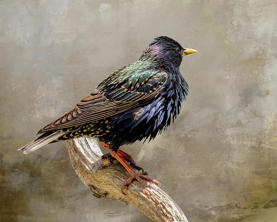 Starling Portrait Photograph