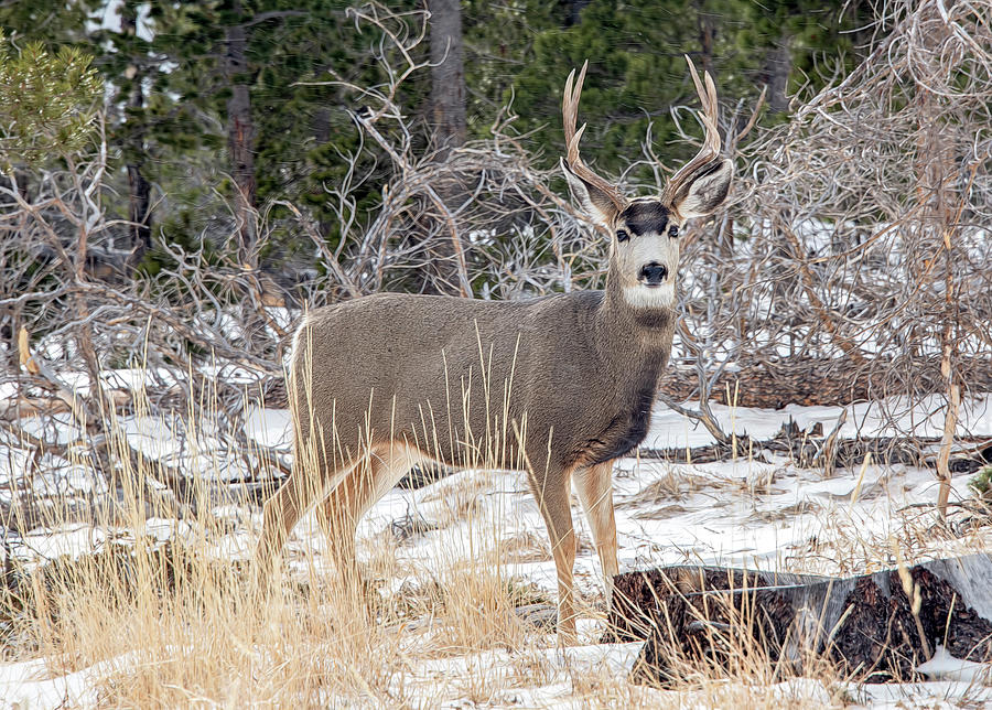 Startled Mule Deer, Rocky Mountain National Park by Marcy Wielfaert