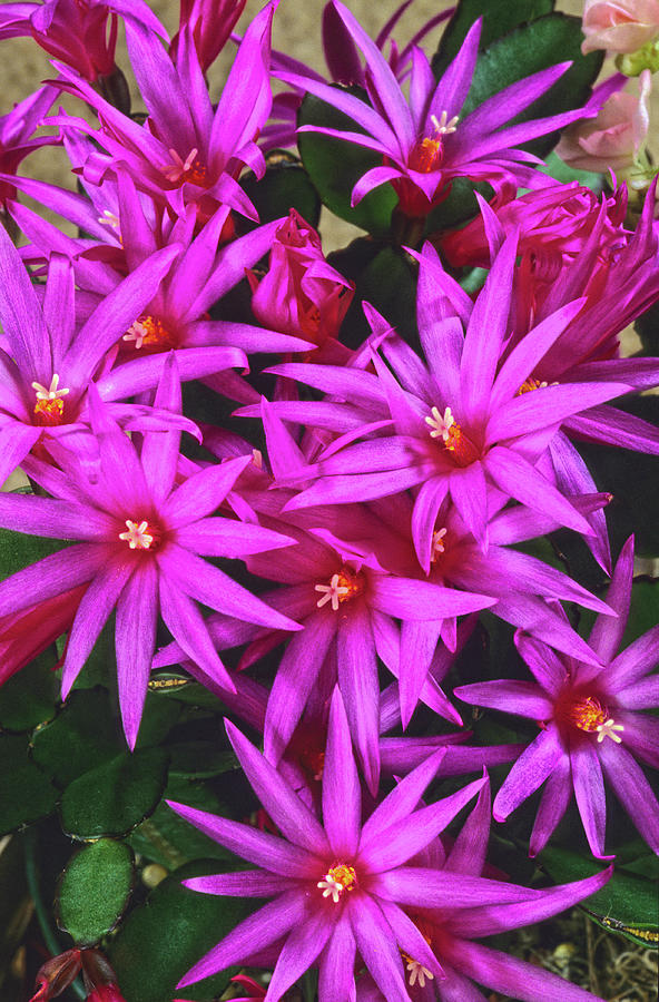 Christmas Cactus Photograph - Stella Is Latin For Star. They Are Called Christmas Cacti. by Bijan Pirnia