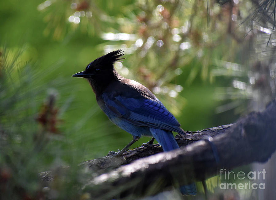 Stellar Jay Photograph - Stellar Jay in Pine by Rose De Dan