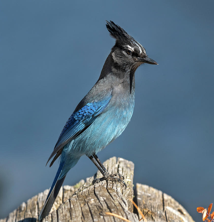 Blue Jay Photograph - Stellers Jay by Mark Langford