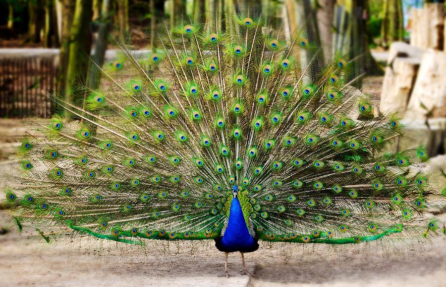 Stolzer Pfau / Proud peacock Photograph by Roman Pretot