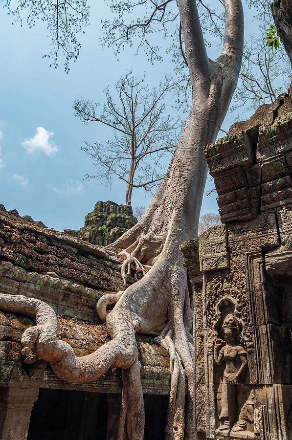 Strangler Fig Tree Photograph