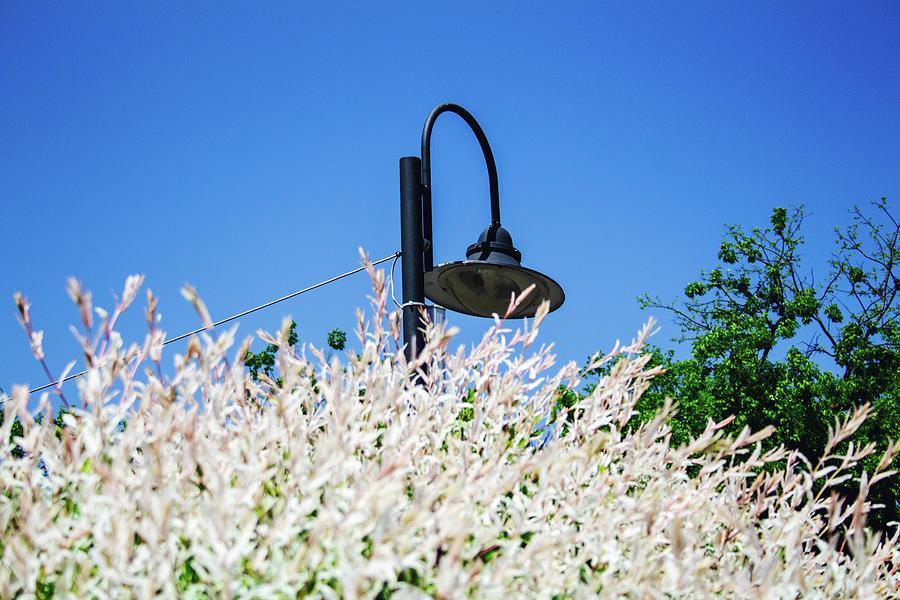Street Light Seen From Bellow, Lighting ... White Flowers Photograph
