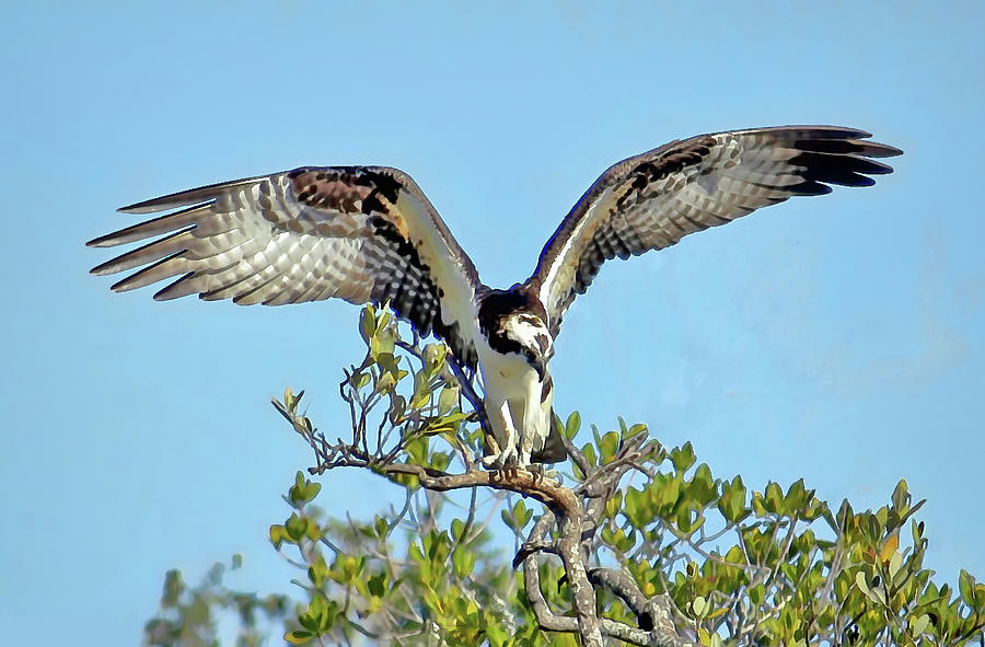 Stretching My Wings by HH Photography of Florida