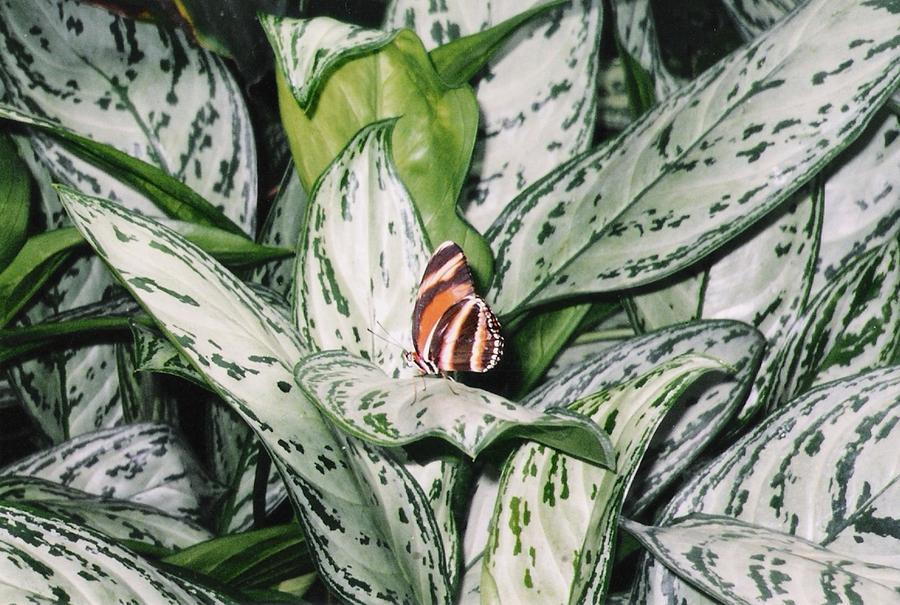 Striped Butterfly Photograph
