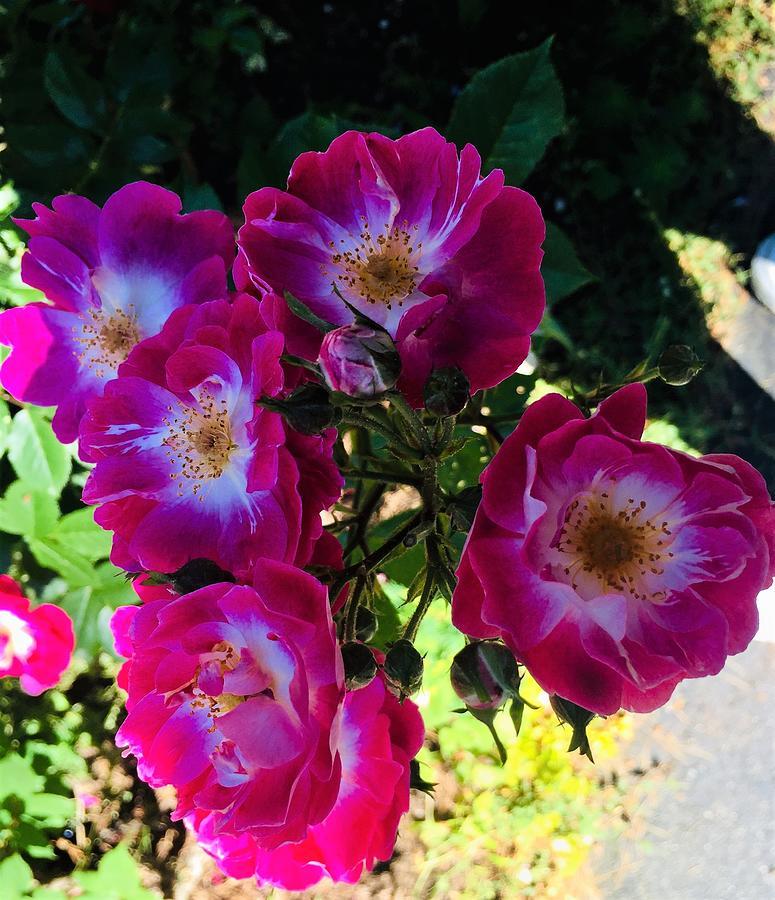 Suans Roses Photograph