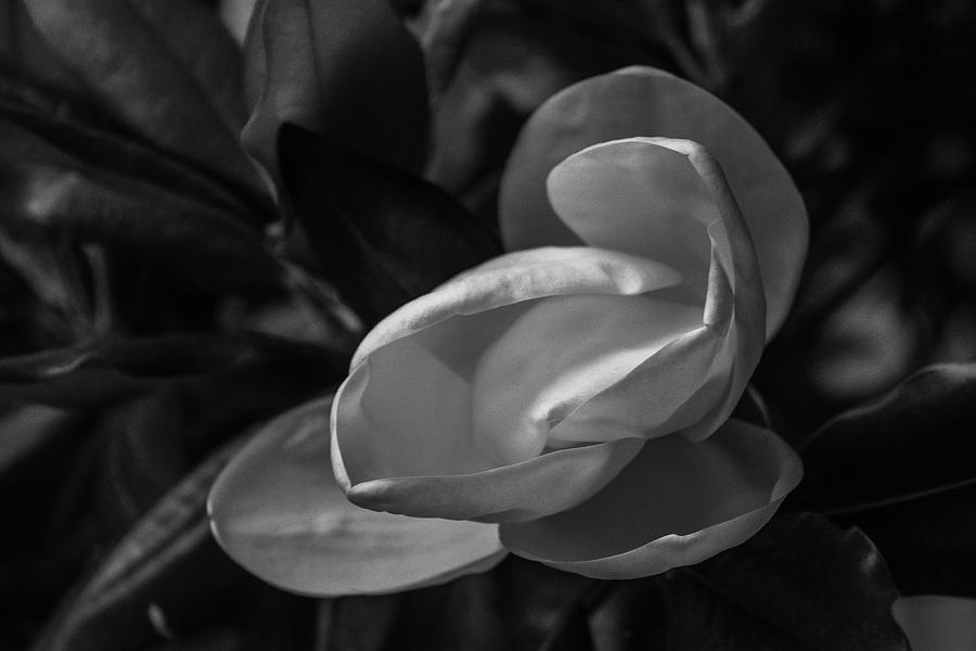 Sugar Magnolia by Amanda Rimmer