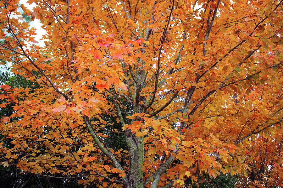 Sugar Maple Tree by Cynthia Guinn