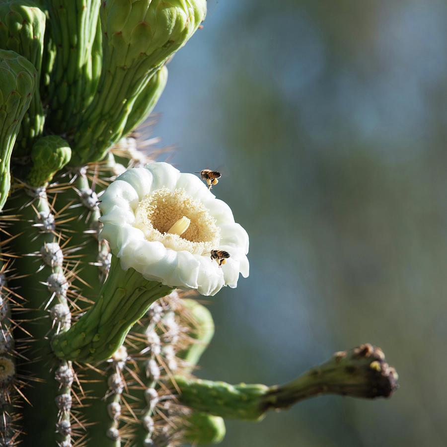 Sugero Cactus Flower Photograph