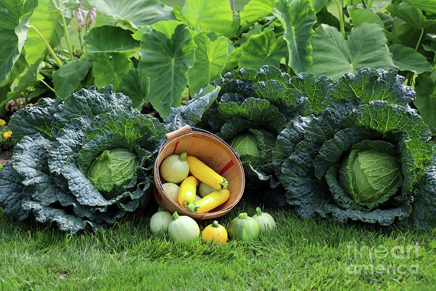 Summer Squash And Savoy Cabbage Harvest 2328 Photograph
