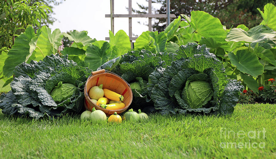 Summer Squash And Savoy Cabbage Harvest 2330 Photograph