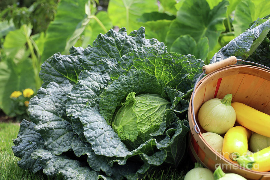 Summer Squash And Savoy Cabbage Harvest 2337 Photograph