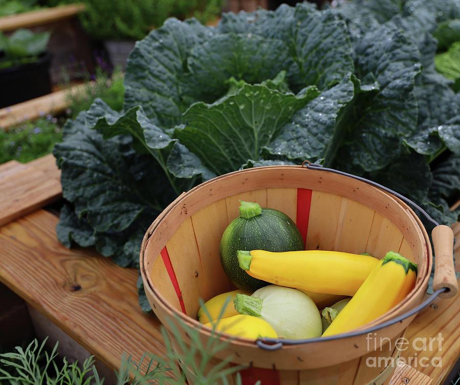 Summer Squash Harvest 2312 Photograph