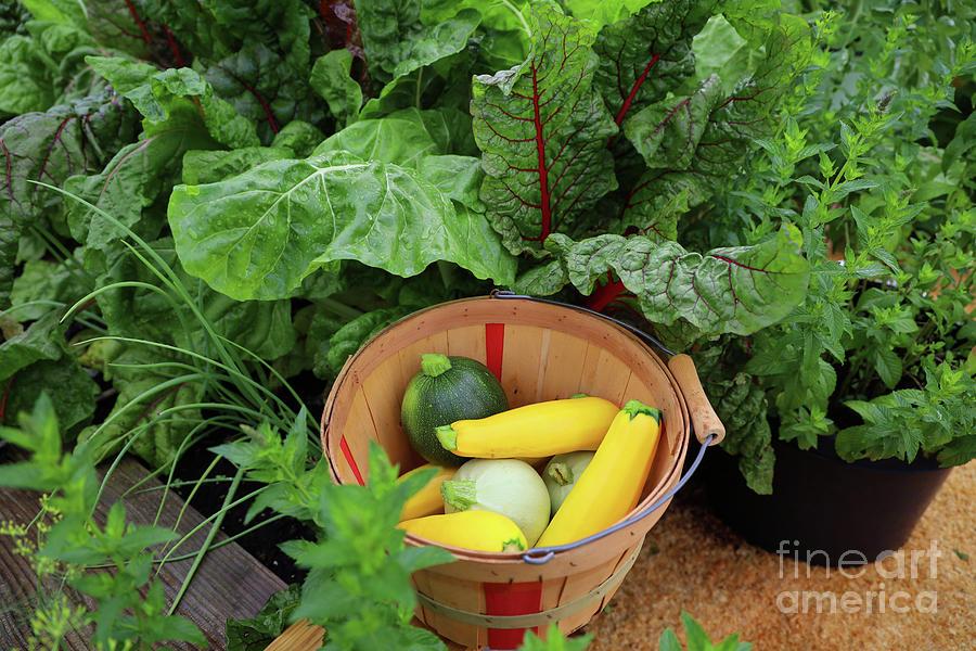 Summer Squash Harvest 2317 Photograph