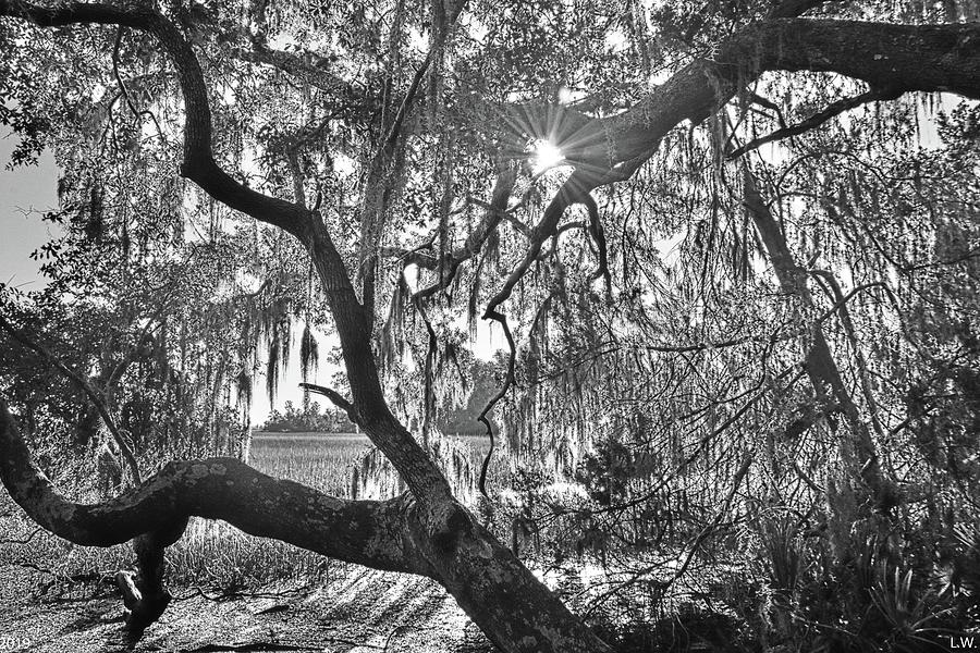 Sunburst Through The Oak Trees Black And White by Lisa Wooten