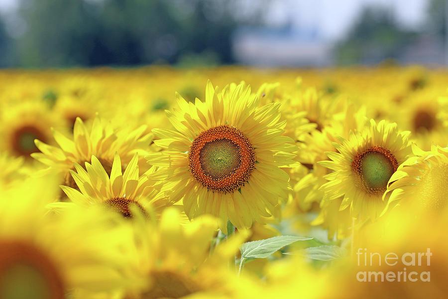Sunflower  0099 Photograph