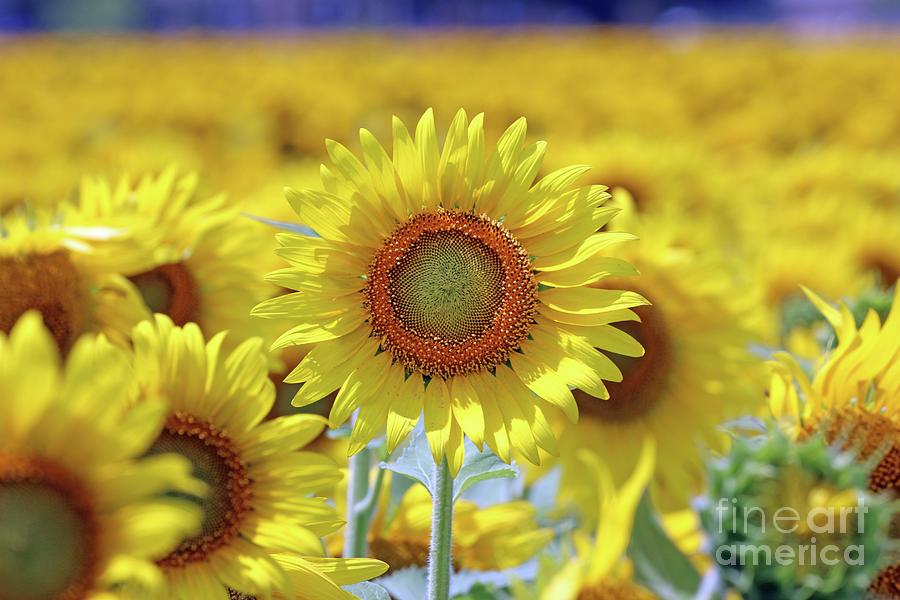 Sunflower  0103 Photograph