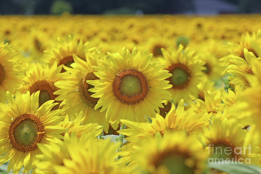 Sunflower  0107 Photograph