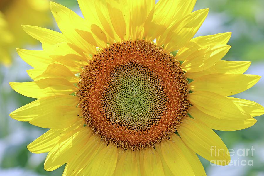 Sunflower  0118 Photograph