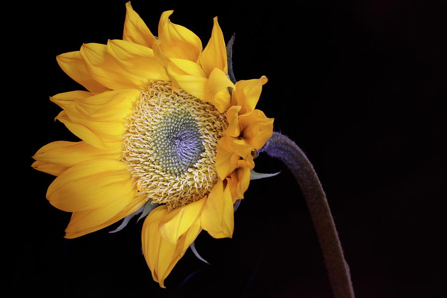 Macro Photograph - Sunflower 031708 by Julie Powell