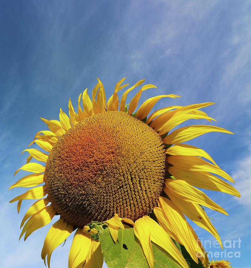 Sunflower  0469 Photograph