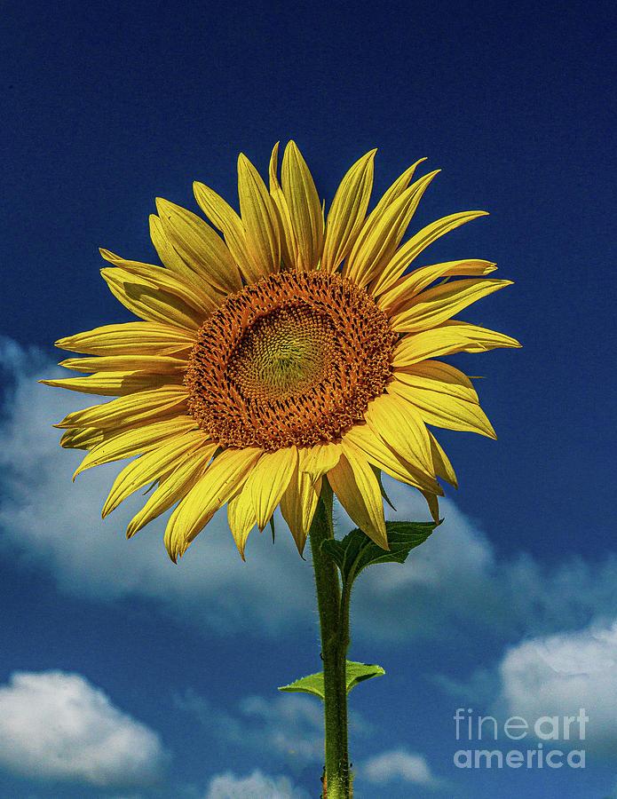 Sunflower 1 Photograph