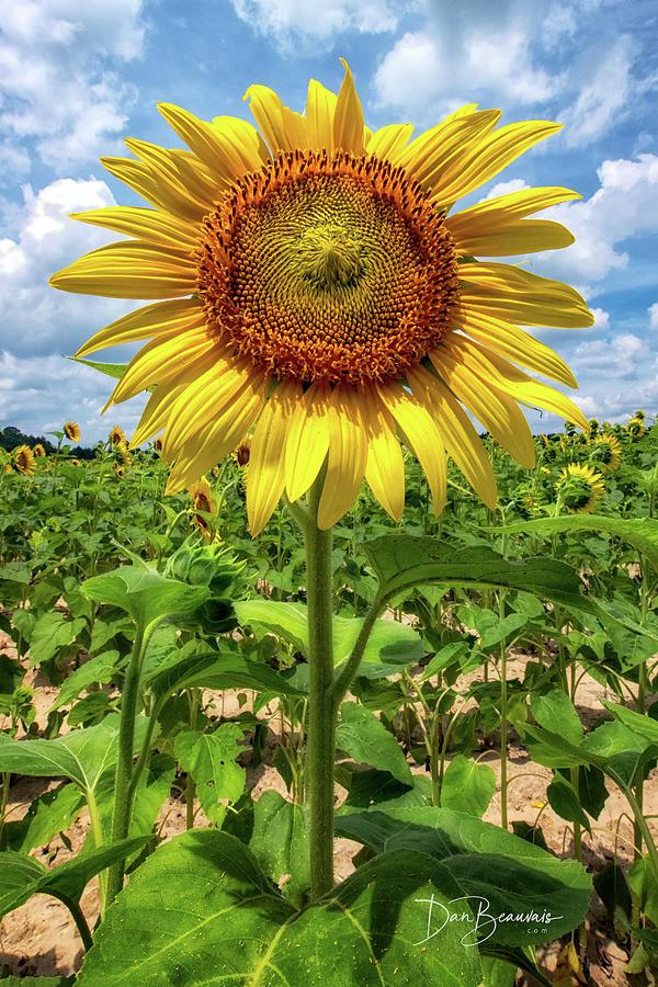 Sunflower 2216 Photograph