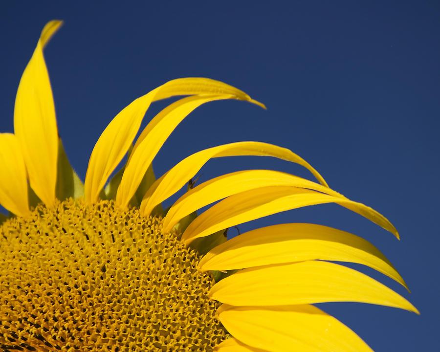 3scape Photograph - Sunflower by Adam Romanowicz