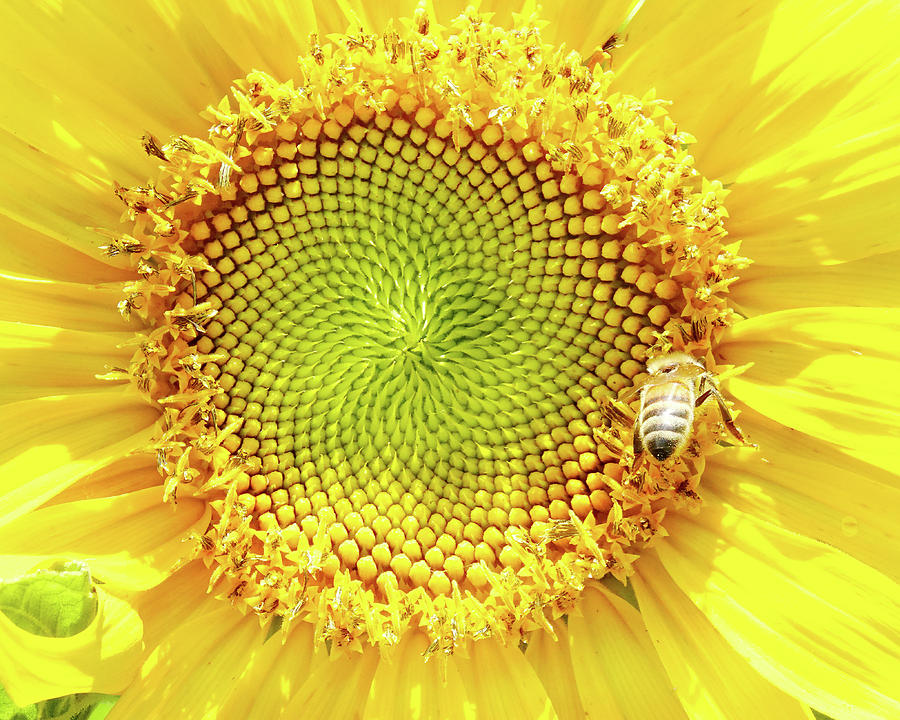 Sunflower And Honeybee Photograph