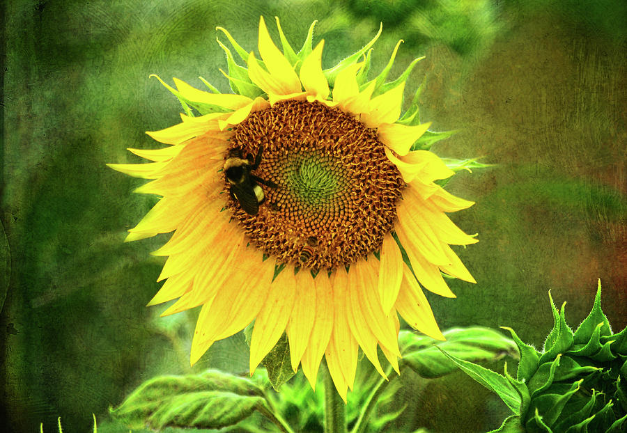 Sunflowers Photograph - Sunflower and Visitors by Sandi OReilly