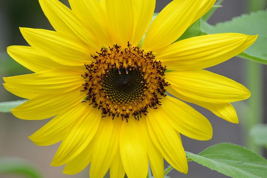 Sunflower Bloom Photograph