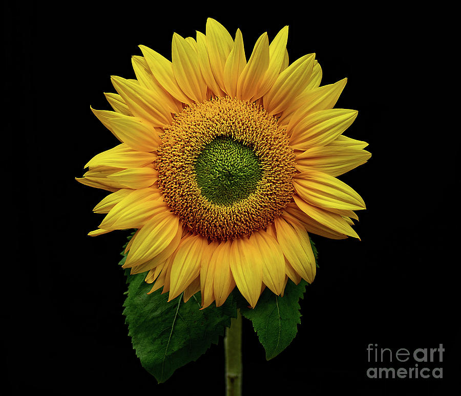 Sunflower Bright And Happy By Kaye Menner Photograph