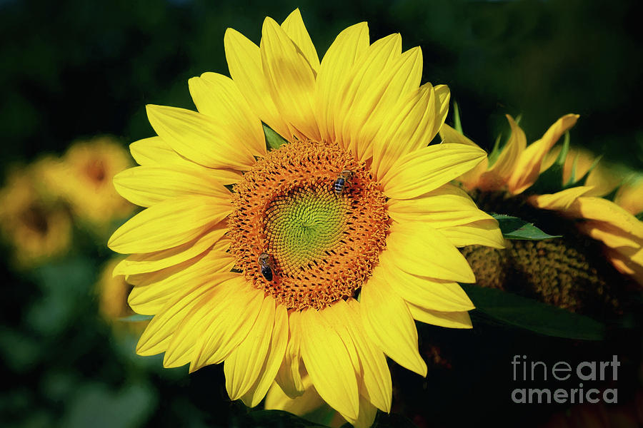Sunflower Centered by Sharon McConnell