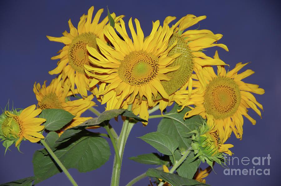 Sunflower Cluster Photograph