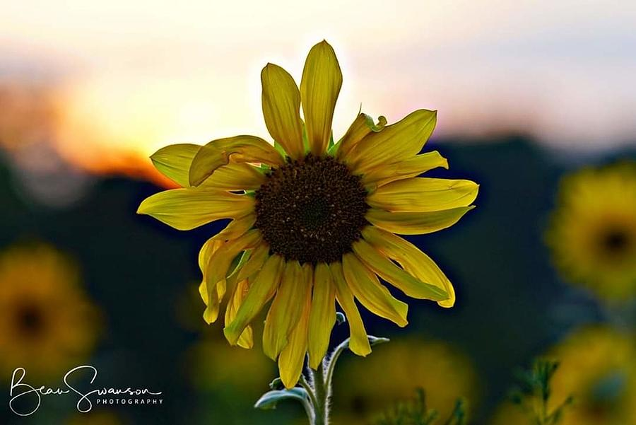 Sunflower Delight Photograph By Beau Swanson
