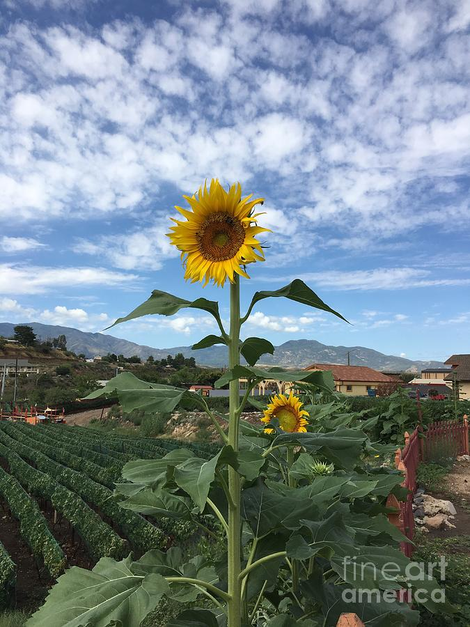 SUNFLOWER by Diane Greco-Lesser