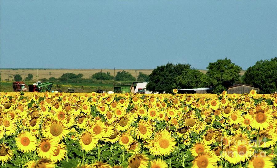 Sunflower Farm by Mae Wertz
