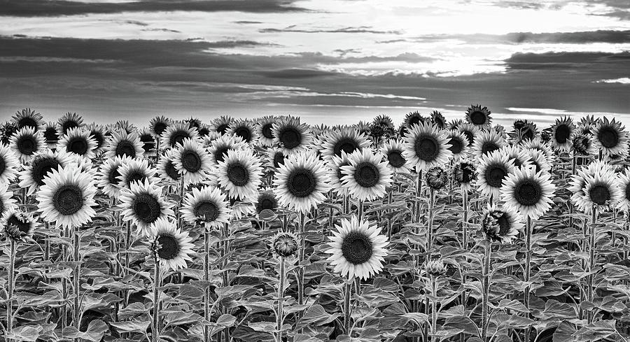 Sunflower Photograph - Sunflower Field by Carl Simmerman