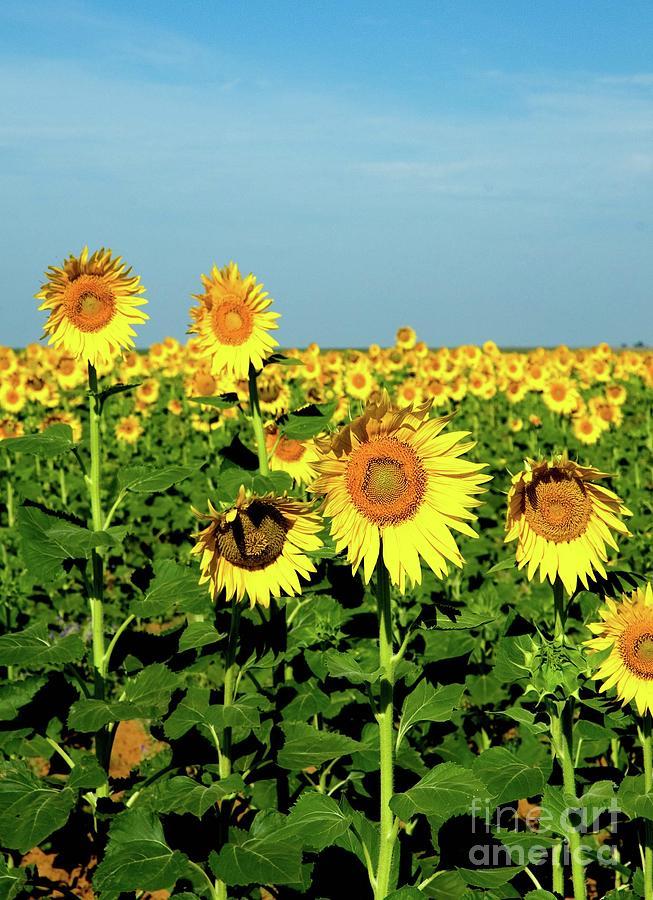 Sunflower Field by Mae Wertz