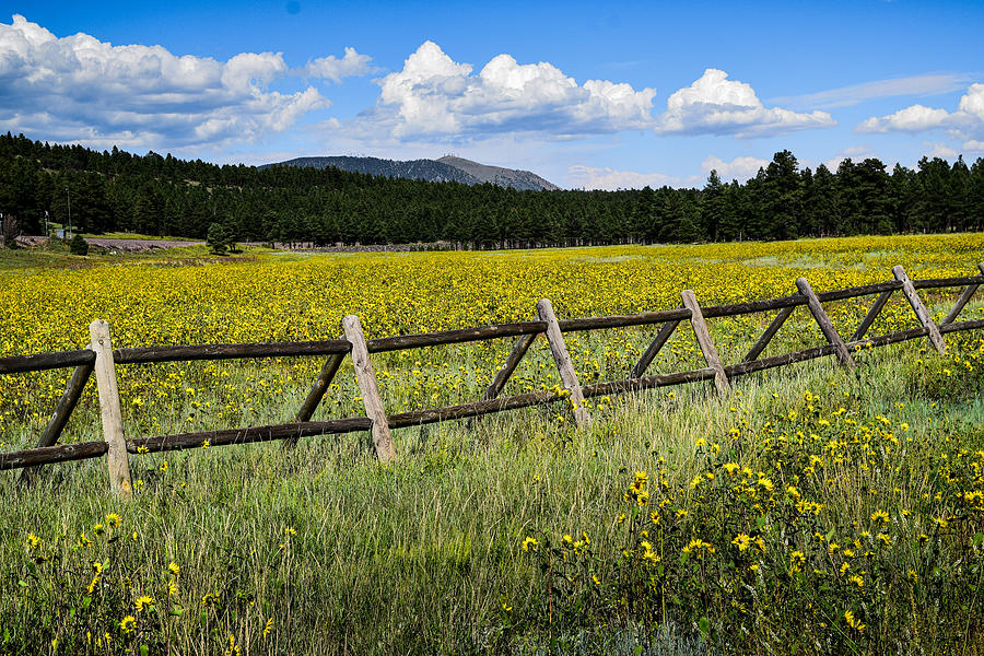 Sunflower Filled Meadow Photograph