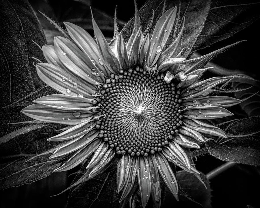 Sunflower In Black And White Photograph