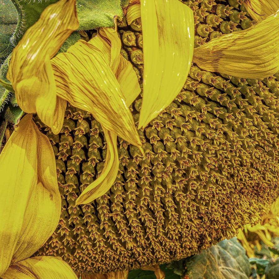 Sunflower Life Photograph